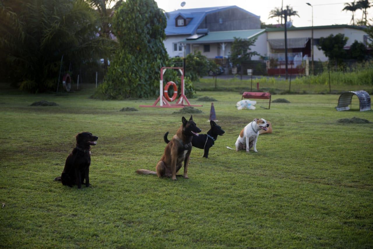 Club d'Éducation Canine Saléen en Martinique - Sport canin Ring Agility Obéissance - Galerie 5