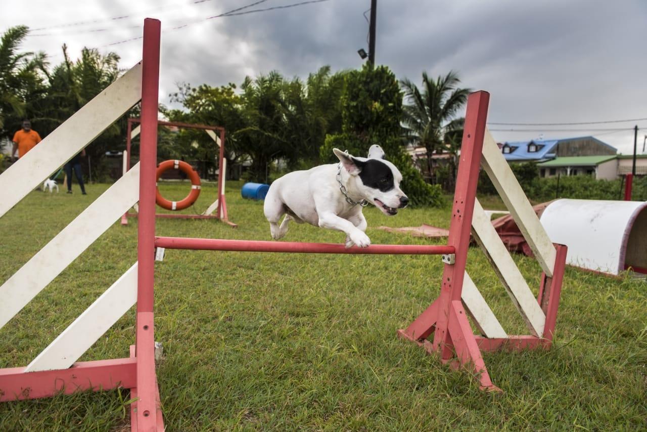Club d'Éducation Canine Saléen en Martinique - Sport canin Ring Agility Obéissance Sociabilisation du chien Certification chien de catégorie 1 et 2 Préparation aux concours