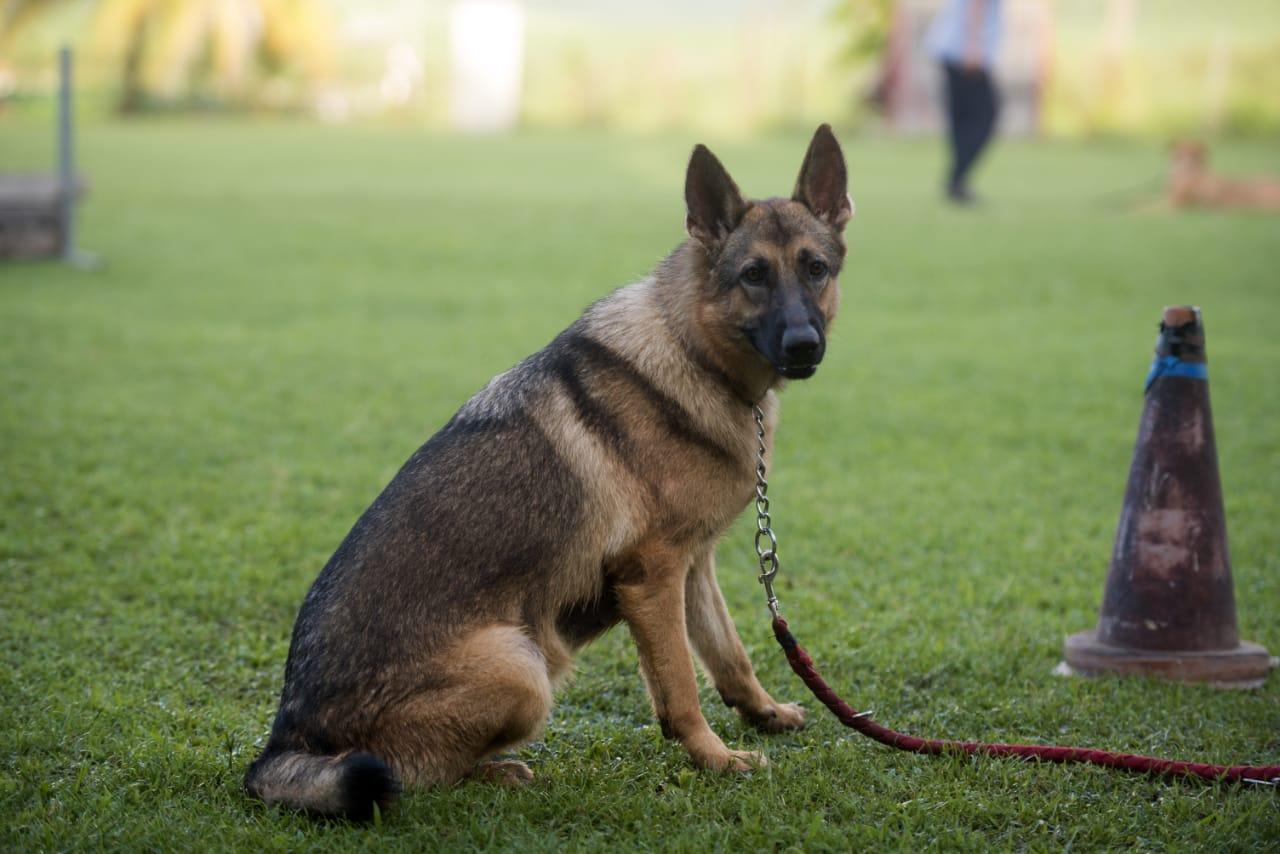 Éducation du chien - Club d'Education Canine Saléen en Martinique